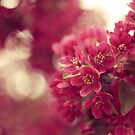 Fuchsia Flowering Tree by ameliakayphotog