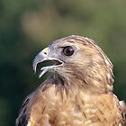 Red shouldered hawk by Robert Kelch, M.D.