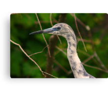 Immature little blue heron-blue and white phase Canvas Print