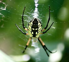 Spinning Garden Spider by patti4glory