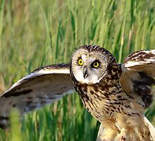 Short-eared owl with wings spread by Robert Kelch, M.D.