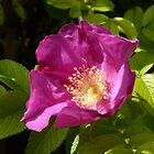 Dog Rose by Robert Gipson