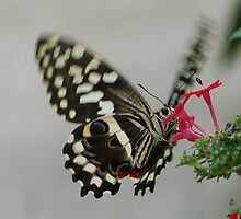 Butterfly in motion by John Morrison