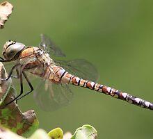 Dragonfly by DutchLumix