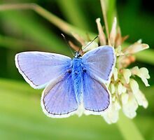 Common blue - Polyommatus icarus by DutchLumix