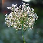 Lace, Ribbons and Bows (Queen Anne's lace) by goddarb