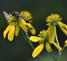 Wasp and white butterfly on wildflower by mltrue
