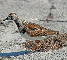 Ruddy turnstone  by jozi1