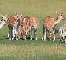 The family fallow deer  by DutchLumix