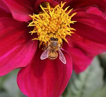 Dahlia With Guest by Deborah  Benoit