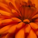 Orange Flower by Joshdbaker