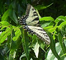 Tiger Swallowtail by Navigator
