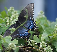 Butterfly Blue - Eastern Tiger Swallowtail  by Ruth Lambert