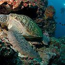 Green Turtle, Bunaken National Marine Park, Indonesia by Erik Schlogl