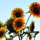 Sunflowers by AlGrover