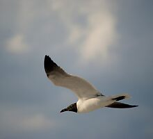 Fly On, Laughing Gull by Mark de Jong