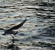 A seagull in Çanakkale by rasim1
