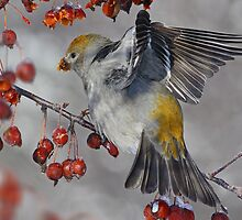 Its A Bit Of A Stretch / Pine Grosbeak Female by Gary Fairhead