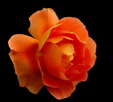 FLAME ORANGE ROSE by RoseMarie747