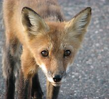 Fox Closeup - Pigeon River Border Crossing by Shauna  Kosoris