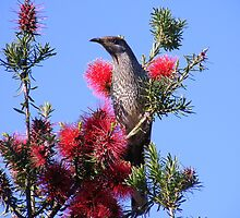 Wattle Bird.  by Esther's Art and Photography