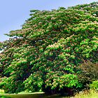 Mimosa Tree by barnsis