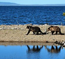 Bear stroll along Yellowstone Lake by Tom Aguero