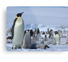 Emperor Penguin and Chicks - Snow Hill Island  Metal Print