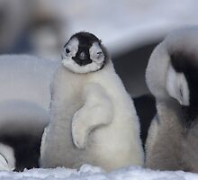 Half Asleep Emperor Penguin Chick - Snow Hill Island  by Steve Bulford