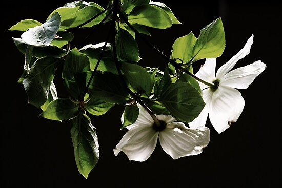 The Dogwood Pair by Joshua Greiner