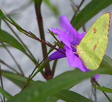 Sulphur Butterfly on Mexican Petunia by Judy Wanamaker
