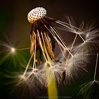 Dandelion I by Julie-anne Cooke Photography