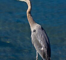 Great Blue Heron - Puget Sound by Barb White