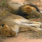 Sleeping big cats by jozi1