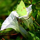 Sulphur Butterfly  by Ruth Lambert