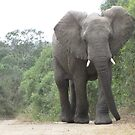 Elephant on Safari, South Africa by pwee167