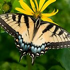 Swallowtail Butterfly by JimGuy