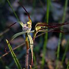 Spider orchid by Rick Playle