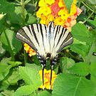 Scarce Swallowtail by taiche