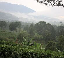 Gunung Mas Tea Gardens by Tim Coleman
