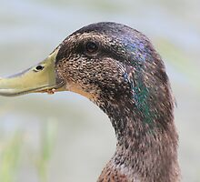 Duck with Crumbs on His Beak by DebbieCHayes
