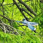 Blue jay in flight by kjeld