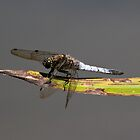Blue Dragonfly (Black Tailed Skimmer) by DonMc