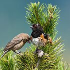 Spotted Towhee and Juvenile by David Friederich