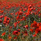 The Poppy Fields by Lynne Morris