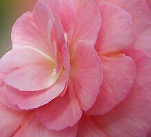 ~ Begonia ~ by Brenda Boisvert