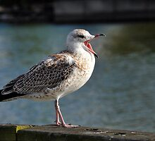 Frustrated Gull by SamTheCowdog