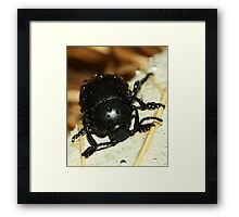 Bloody nose beetle in the rain. Framed Print