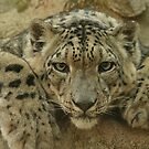 Snow Leopard by Rick Montgomery