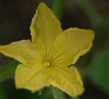 cucumber flower by rue2